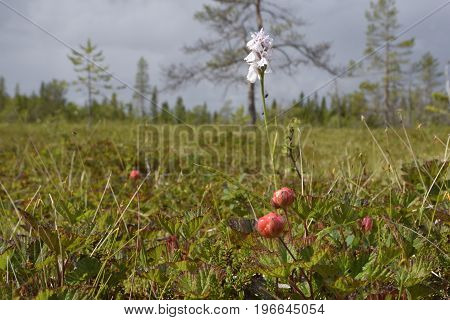 Closeup of a cloud berry on a morass with a Heath Spotted-orchid (Dactylorhiza maculata) in background picture from the North of Sweden.