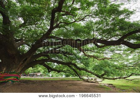 big branch of Giant Monky Pod Tree in Kanchanaburi Thailand