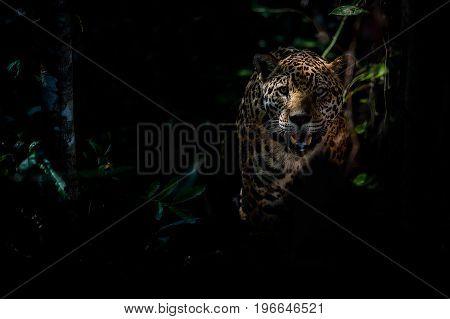 American jaguar in the nature habitat, panthera onca, wild brasil, brasilian wildlife, pantanal, green jungle, big cats