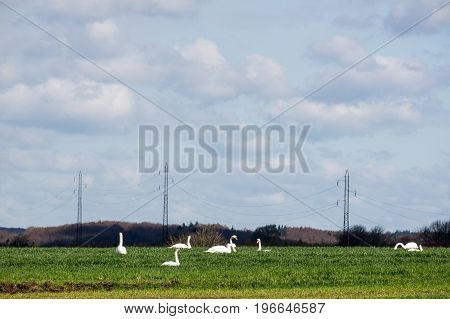 Land with grazing swans resting on their trek. Behind the ground is the power of high voltage and the sky is blue