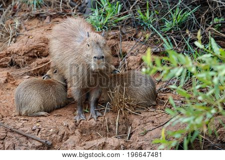 capybara in the nature habitat of northern pantanal, biggest rondent, wild america, south american wildlife, beauty of nature, giants poster