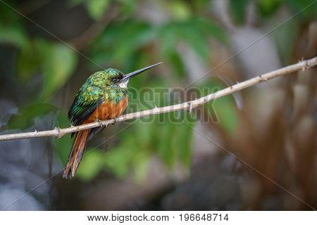 Rufous-tailed Jacamar on a tree in the nature habitat, wild brasil, brasilian wildlife, pantanal, green jungle, birding, Galbula ruficauda