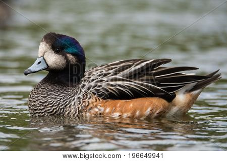 Chiloe wigeon (Anas sibilatrix) swimming profile. Bird indigenous to South America aka southern wigeon in the family Anatidae