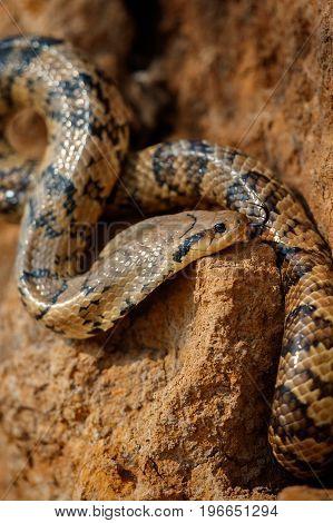 Wild snake close up in the nature habitat, wild brasil, brasilian wildlife, pantanal, green jungle, south american nature and wild, dangereous, false cobra