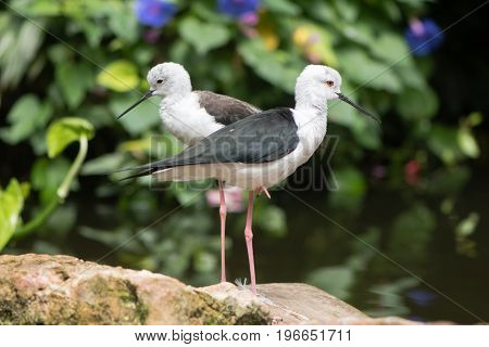 Pair of black-winged stilt (Himantopus himantopus). Long-legged wader in the family Recurvirostridae aka common or pied stilt