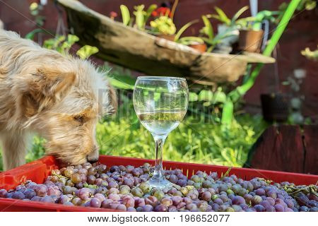 shaggy red dog eats grapes from a box on which there is an unfinished glass of wine