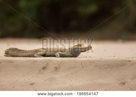 Wild caiman in the nature habitat, wild brasil, brasilian wildlife, pantanal, green jungle, south american nature and wild, dangereous