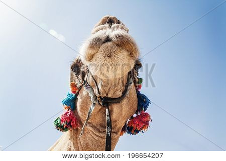 The Decorated Head Of A Camel, Close-up, Against A Sky Background