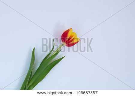 Single Tulip set in a off white back ground