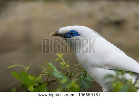 Bali myna (Leucopsar rothschildi) in profile. Critically endangered bird aka Rothschild's mynah Bali starling or Bali mynah