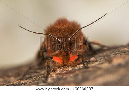 Ruby tiger moth (Phragmatobia fuliginosa) front view. British insect with red and brown colours in the family Erebidae previously Arctiidae at rest seen head on