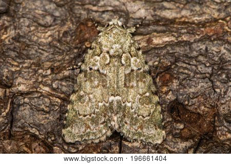 Marbled green moth (Cryphia muralis) at rest on bark. British moth in the family Noctuidae well camouflaged against background
