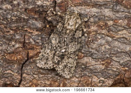 Poplar grey moth (Acronicta megacephala) at rest on bark. British moth in the family Noctuidae well camouflaged against background