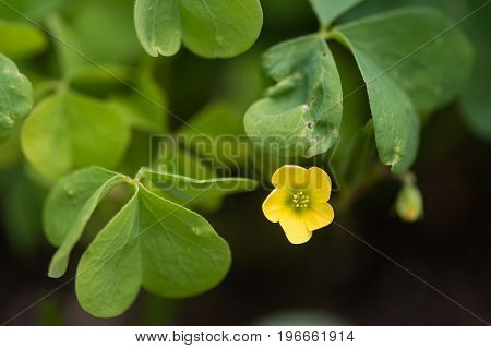 Wood sorrel (Oxalis sp.) flower and leaves. Yellow flower of edible plant also known as sourgrass in the family Oxalidaceae