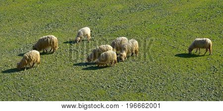 Flock of sheep eating grass on the field. Top view
