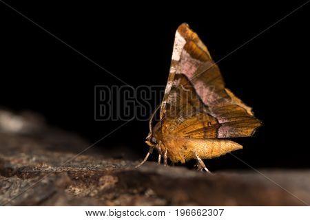 Purple thorn moth (Selenia tetralunaria) underside. British moth in the family Geometridae at rest on bark