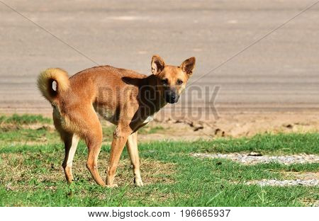 stay dog after excrete on green grass beside country road in morning