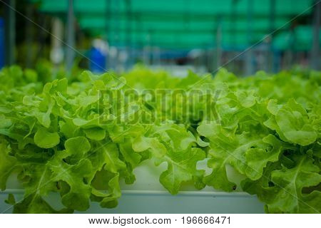 the Organic hydroponic vegetable cultivation in  farmOrganic hydroponic vegetable cultivation farm
