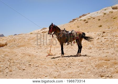 A saddled Arabian purebred horse is harnessed and pacing in the sun in Petra Jordan. Such horses are used by local guides for tourist transportation.