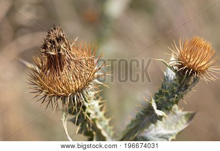 Dry prickly thorns on the head and inflorescence of thistles.