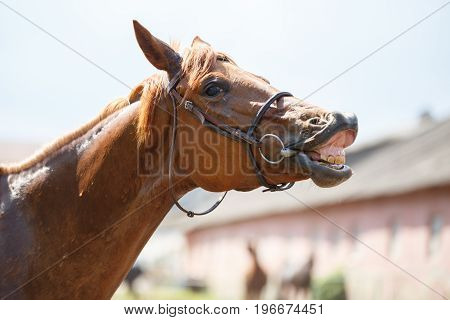 Sorrel horse gives a smile. Funny horse portrait at farm