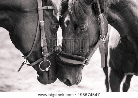 Two horses touching noses each other. Black and white friendship image
