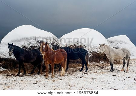 Different colored horses against the background of hay in the winter