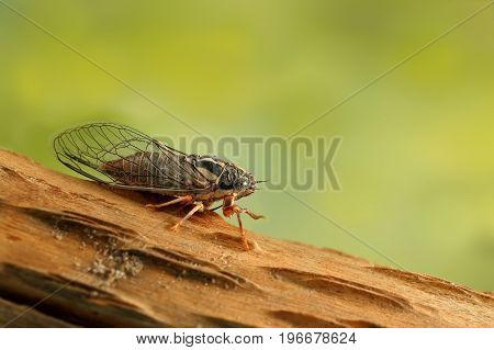 Cicada Euryphara known as european Cicada moving down  on a twig with a green background.Garden's pest.