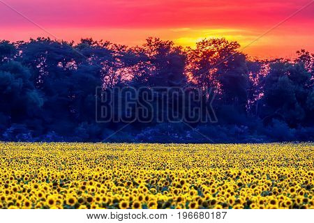 Scenic sunset with beautiful sunflowers on the field