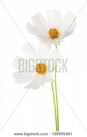 Two white  Cosmos flowers isolated on white background. Garden Cosmos.