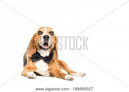 Cute Beagle Dog Lying In Bow Tie, Isolated On White