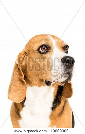 Portrait Of Cute Furry Beagle Dog, Isolated On White
