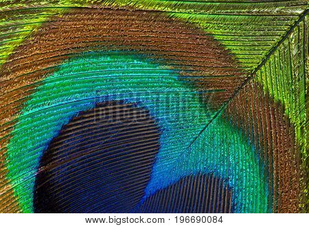 Detailed photo of a beautiful vivid peacock feather