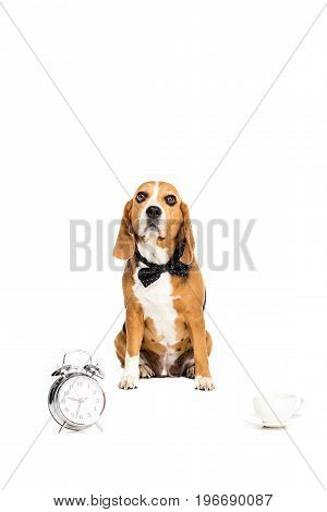Beagle Dog In Bow Tie Sitting Near Alarm Clock And Coffee Cup, Isolated On White