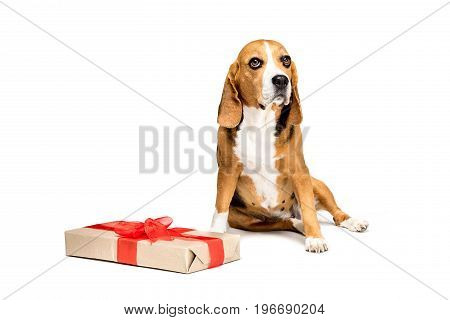 Beagle Dog Sitting Near Present Box With Red Bow, Isolated On White
