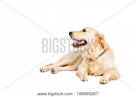 Golden Retriever Dog Lying And Looking Away, Isolated On White