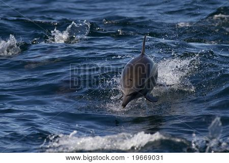 Wild Dolphins At Sea