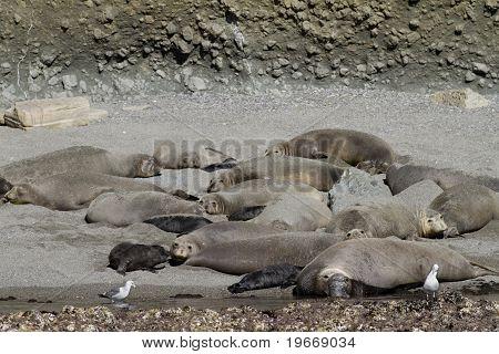 Elephant Seal Colony California