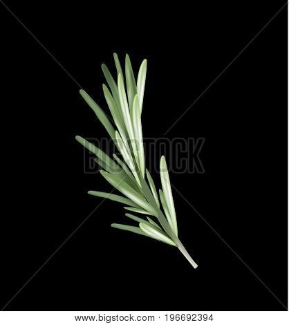 Rosemary herb and spice on a black background. Rosemary vector illustration for design.