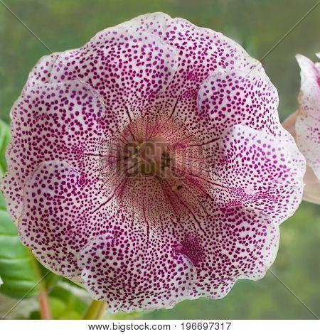 Decorum plant beautiful tiger pink Gloxinia flower Sinningia speciosa on green background