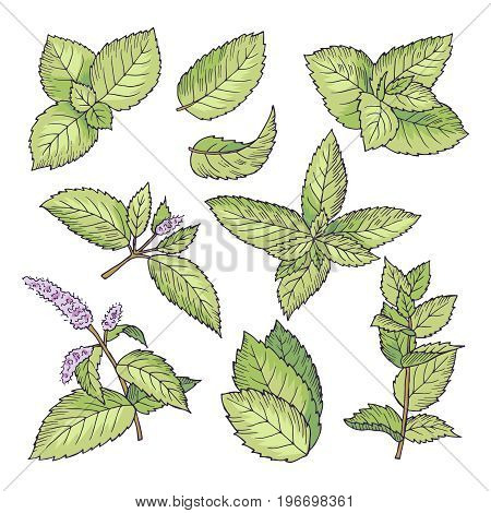 Different vector colored illustrations of herbal mint. Hand drawn pictures of leaves and menthol branches. Spearmint ingredient drawing, healthy menthol leaf