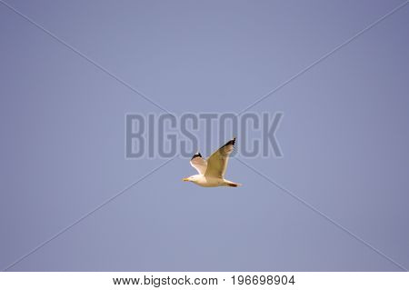 Gull fly in the blue sky of the island of Crete in Greece