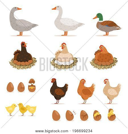 Chicken brood hen, ducks and other farm birds and his eggs. Vector illustrations set in cartoon style. Chicken and goose, duck and chicken eggs