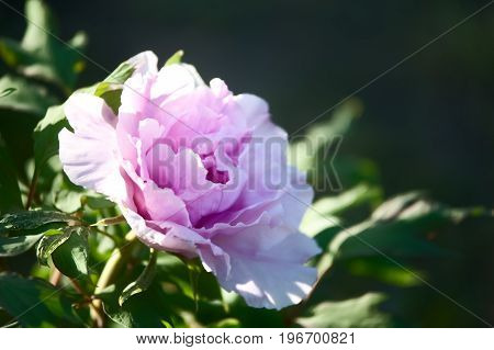 peony under natural conditions. Juicy pink red flowers on a background of green foliage. Flower pattern.