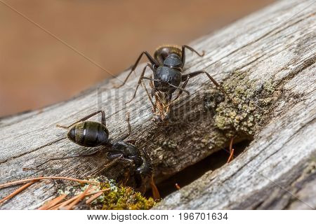 Two black forest ant clean their nest macro
