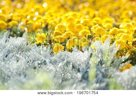 Glade of bright yellow flowers in the sunlight. Beautiful, sunny summer background. Flower Pattern