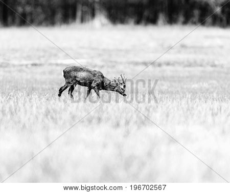 Old Black And White Photo Of Roe Deer Buck With Head Down In Meadow Looking For Food.