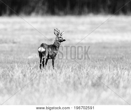 Old Black And White Photo Of Roe Deer Buck Standing In Meadow Looking Aside.