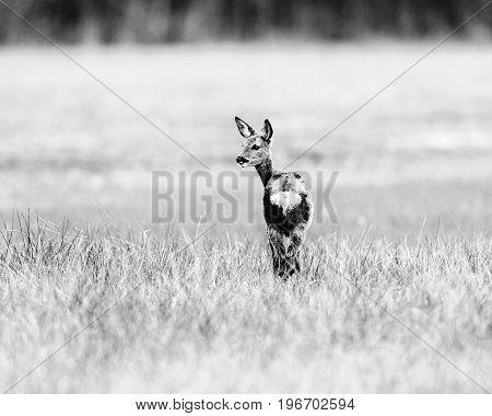 Old Black And White Photo Of Roe Deer Doe Standing In Field Looking Aside.