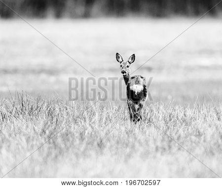 Old Black And White Photo Of Alert Roe Deer Doe In Field Looking Backwards.